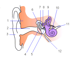 Ear-anatomy